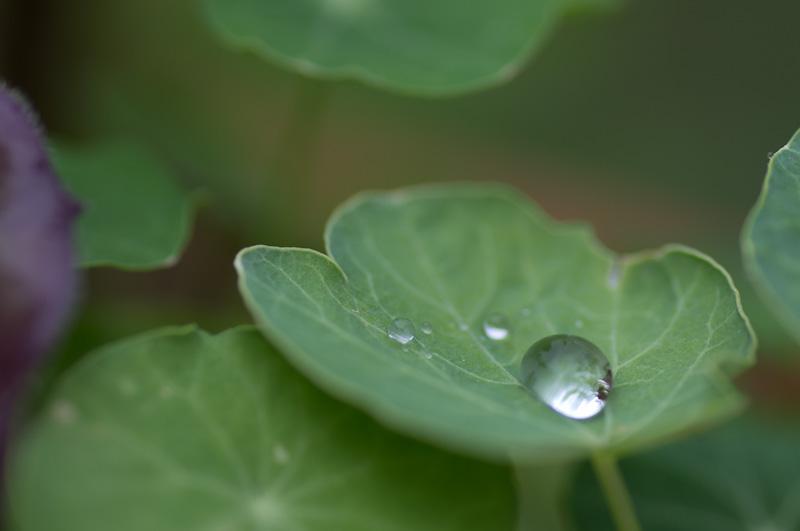 Manilva bladdroppe