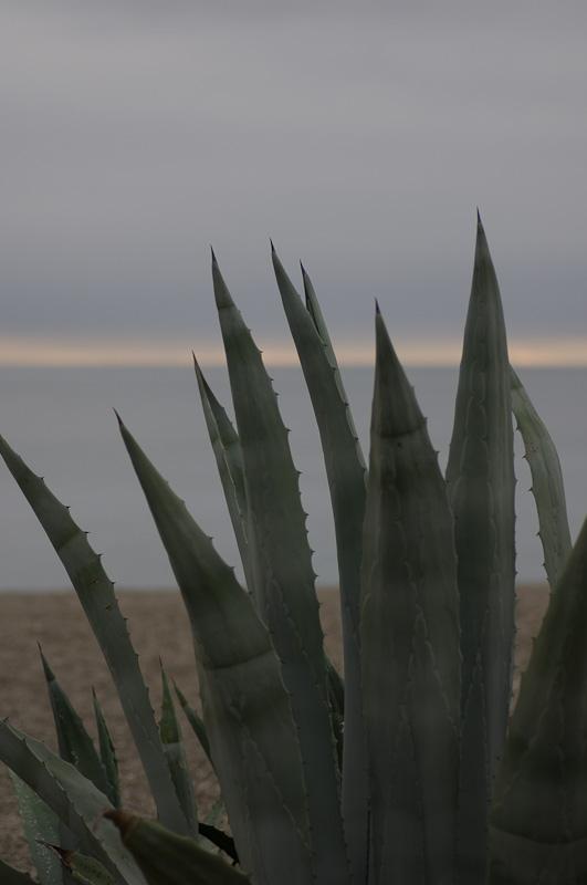 Manilva kaktus