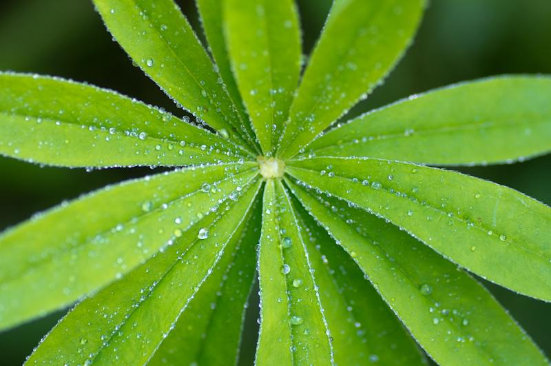 Ogräs lupinblad trädgård kreativitet